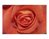 Bloomin peach rose