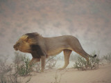 A Lion Pushes on Through a Gritty Wind in the Nossob Riverbed