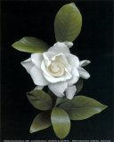 Gardenia Glory