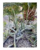 Cactus - Ein Gedi Spa - Dead Sea area  Israel
