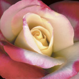 Blush Rose