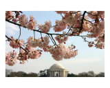 Washington DC Cherry Blossom - Jefferson Memorial