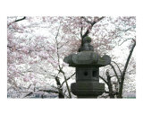 Washington DC Cherry Blossom - Japanese Lantern
