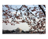 Washington DC Cherry Blossom with Jefferson Memorial