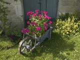 Pink Geraniums in a wheelbarrow