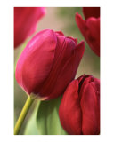 Kissing tulips