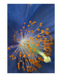 Blue Poppy
