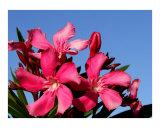 Pink oleander and blue sky
