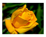 Yellow Rose in hot Texas sun