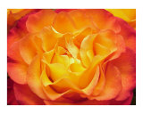Fiery orange Rose