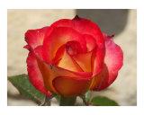Glow Red Rose