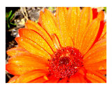 Golden Gerbera in hot Texas sun