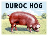 Duroc Hog