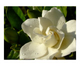 Gardenia with morning dew
