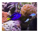 Blue Hippo Tang and Chromis