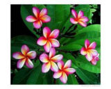 Pink Frangipani