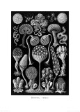 Nocturnal Fungus  Tablet 17  c1899-1904