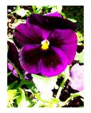 Purple Pansies 1