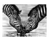 Burchell's zebra  Kenya