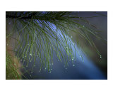 Droplets on the Pines