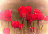 Tulip Haze