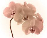 Orchid Dawn II