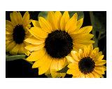 Seeing Sunflowers