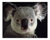 512 - Koala