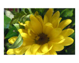 One Yellow Daisy