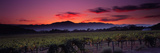 Vineyard at Sunset, Napa Valley, California, USA Papier Photo par Panoramic Images