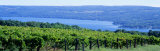 Vineyard  Finger Lakes  New York  USA