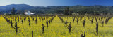House in a Vineyard  Napa Valley  California  USA