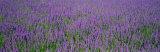 Field of Lavender  Hokkaido  Japan