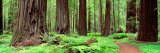 Trail, Avenue of the Giants, Founders Grove, California, USA Papier Photo par Panoramic Images