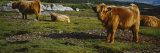 Highland Cattle on a Grassy Field  Isle of Mull  Scotland  United Kingdom