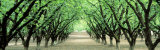 Hazel Nut Orchard  Dayton  Oregon  USA