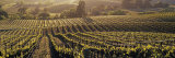 Aerial View of Rows Crop in a Vineyard  Careros Valley  California  USA