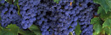 Grapes on the Vine  Napa  California  USA