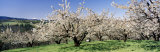 Cherry Orchard  Oregon  USA