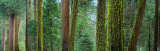 Cedars and Pines  Yosemite National Park  California  USA