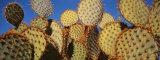 Close-up of Prickly Pear Cactus  Joshua Tree National Park  California  USA