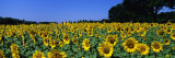 Sunflowers in a Field  Provence  France