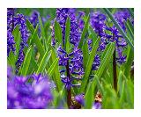 Vibrant Hyacinth