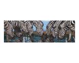 Zebras Drink