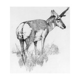 Drawing of the Nearly Extinct Sonoran Pronghorn Antelope