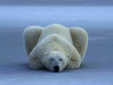 A portrait of a sleeping polar bear