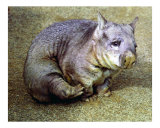 Wombat Witn an Itch