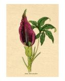 Arum dracunculus or Common dragon arum from Benjamin Maund's Botanic Garden Volume XI