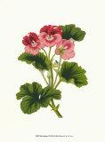 Pink Geranium I