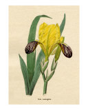 Iris variegata or Fleur de lis from Benjamin Maund's Botanic Garden Volume III 1829